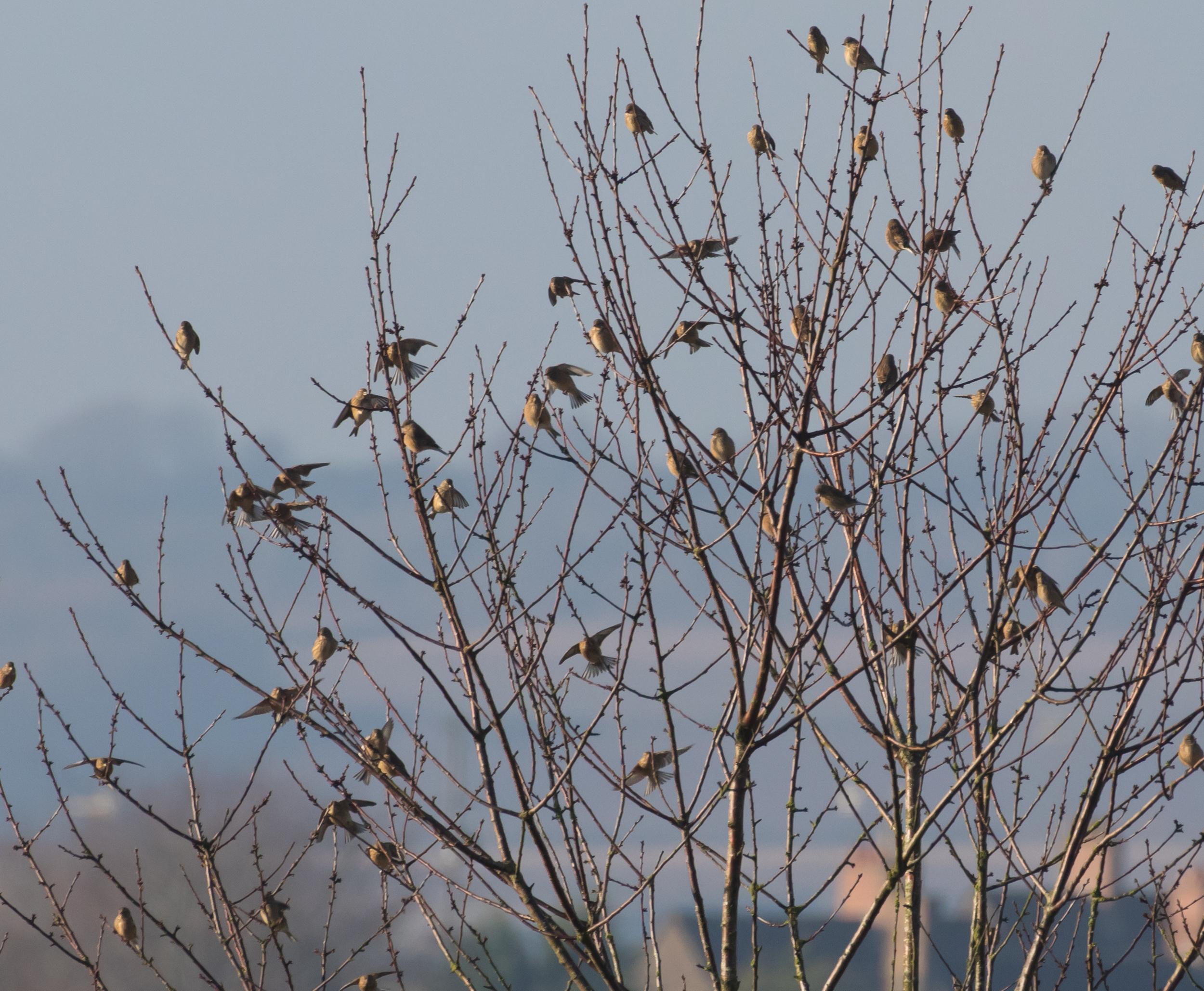 Linnets in tree